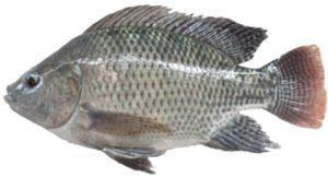 peluang usaha bakso ikan