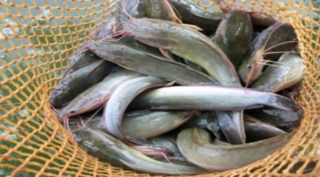 Tips Cara Memilih Ikan Lele Yang Baik Untuk Membuat Bakso Lele